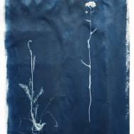 4 achillea millefolium