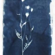 6 centaurea scabiosa